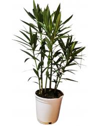 Adelfa - Nerium Oleander 3L
