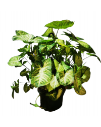 Syngonium White Butterfly T-15