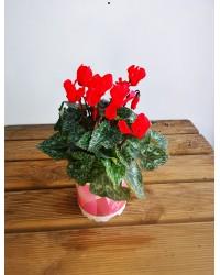 Cyclamen Mini Rojo Maceta 11cm